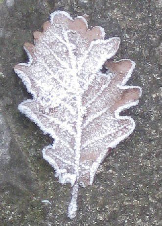 winter lef frosted leaf in winter